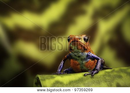 strawberry poison arrow frog Costa rica and Nicaragua. Beautiful poisonous animal from the central american tropical rain forest. Macro exotic amphibian
