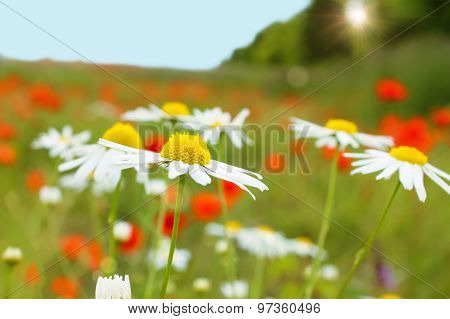 Chamomile plants in meadow over sunset.