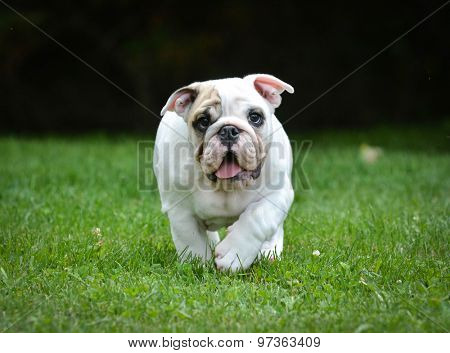 dog running - three month old male bulldog puppy