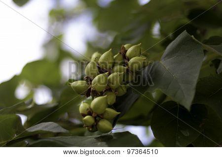 Green Paulownia Seeds