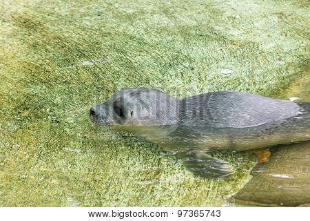 Newborn Harbour Seal (phoca Vitulina)