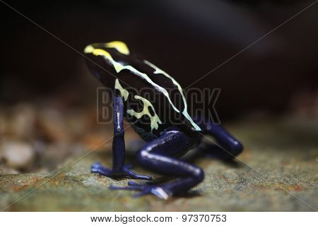 Dyeing dart frog (Dendrobates tinctorius), also known as the dyeing poison frog. Wildlife animal.
