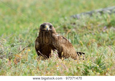 bird of prey on field  (aquila pennata)