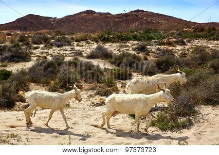 Almeria Goats in Playa de los Genoveses at Cabo de Gata Spain