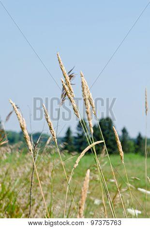 Dry Brown Grass