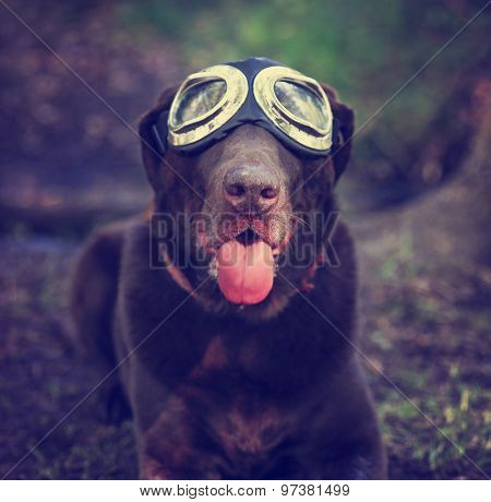 a chocolate labrador retriever posing for the camera during a hot summer day with goggles on with his tongue poking out (SHALLOW DOF - on his nose)