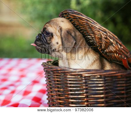 a cute baby pug chihuahua mix puppy looking out of a wicker picnic basket and licking her face during summer