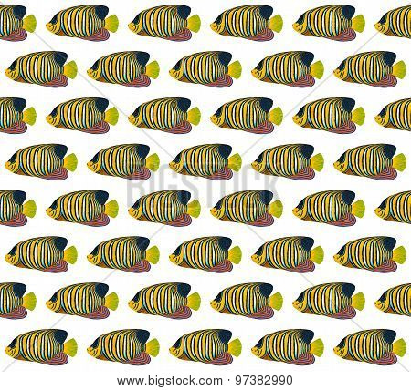Regal Angelfish Pattern