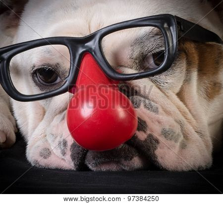 funny dog - bulldog wearing clown glasses and red nose