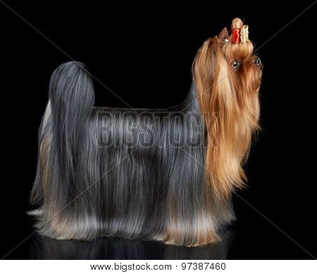 Dog Stands On Black