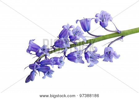 Hyacinthoides Non-scripta Flower