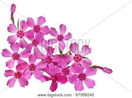 Moss Phlox Flower