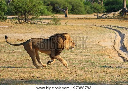 Cecil the Iconic Hwange Lion running across the African plains