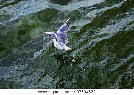 Seagull Arising From Ocean Waves