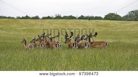 A Heard Of Deer