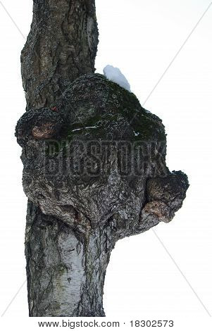 Old birch trunk with excrescence