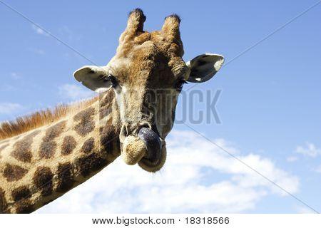 Giraffe licking nostril