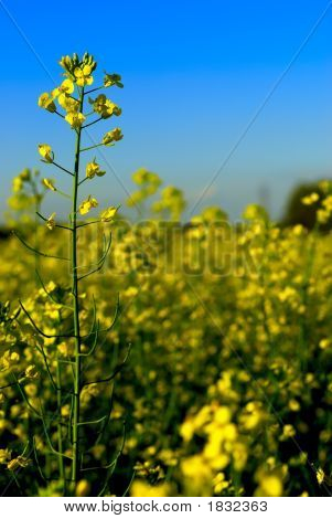 Summer Canola Rapeseed Crop