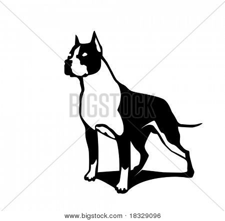 American Staffordshire terrier of a white background