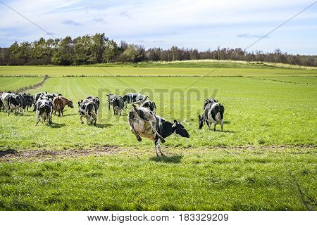 Cows Run Out On A Green Meadow