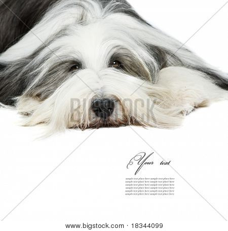 Sheepdog in front of a white background