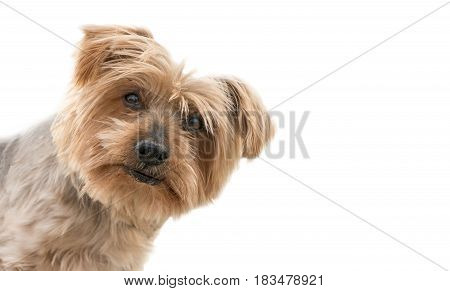 poster of funny dog isolated face peeking from one side, surprised dog. dogguie with curiosity expression raising his ears. Hey what's up dog brown Yorkshire Terrier dog. Blurry background