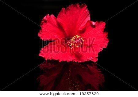 Una flor de hibisco hermosa aislada en negro con reflexión