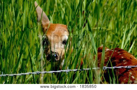 Fawn And Barbed Wire