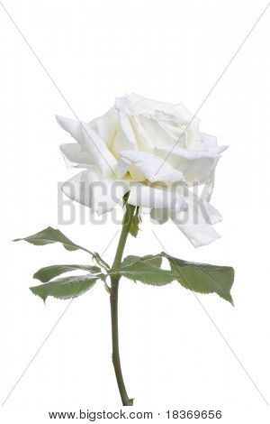 white rose on white isolated