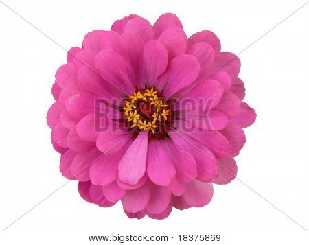Isolated Zinnia Flower on white background
