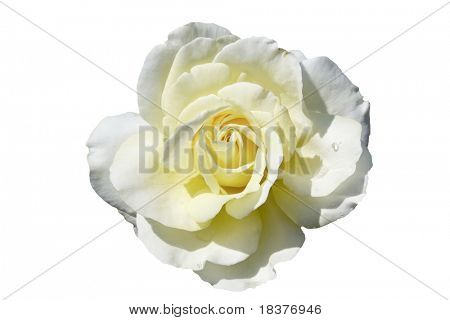 beautiful white-yellow rose isolated on white background