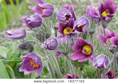 background of pasque-flower at spring time