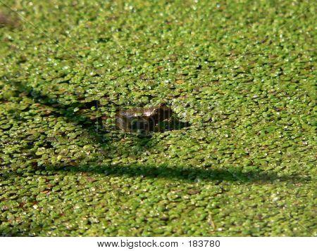 Green Frog 005