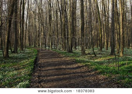 way at floodplain forest in the spring, carpeted with snowdrops