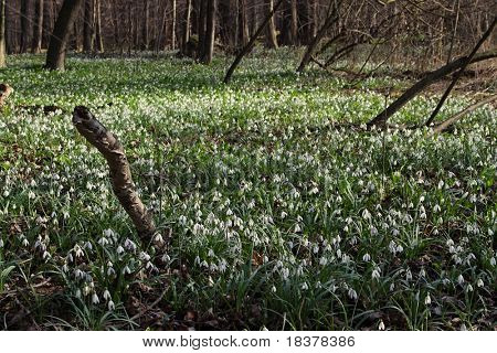 floodplain forest in the spring, carpeted with snowdrops