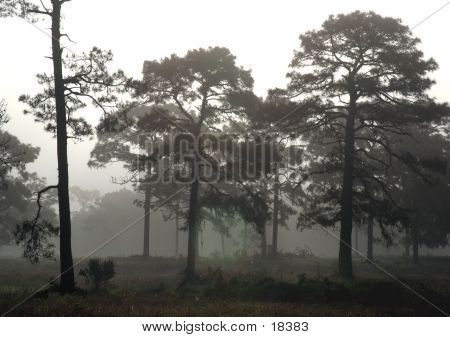 Pine Forest Fog