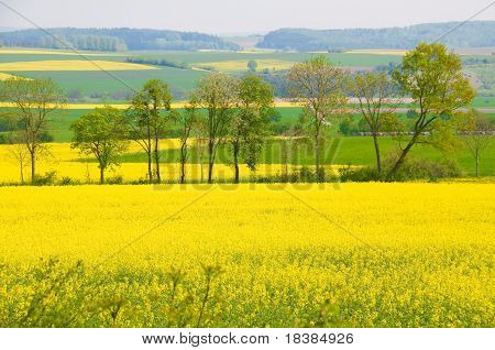 Rape Blossoms.