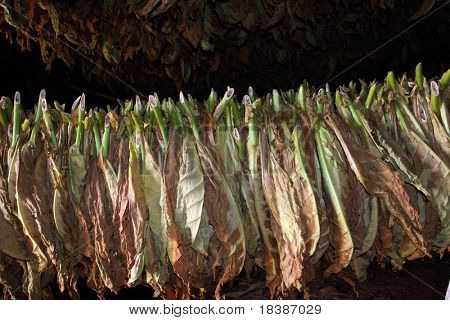 tobacco leafs drying, cuba, vinales
