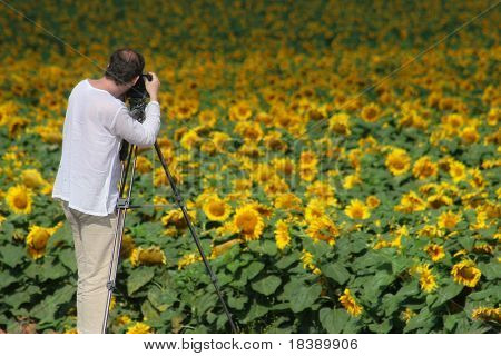 Outdoor photographer with camera mounted on tripod takes pictures of field full of sunflowers.