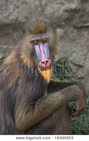 Vertical oriented capture of Mandrill in the zoo.
