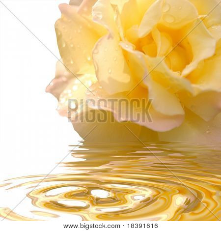 yellow rose with reflection in the water, isolated on white