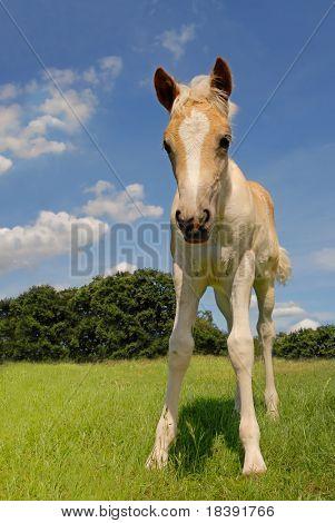 haflinger Linda Potranca en un prado verde fresco y con fondo de cielo azul
