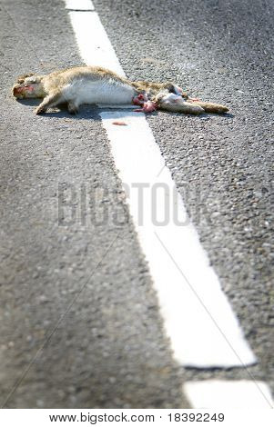 roadkill of wild rabbit or hare on asphalt