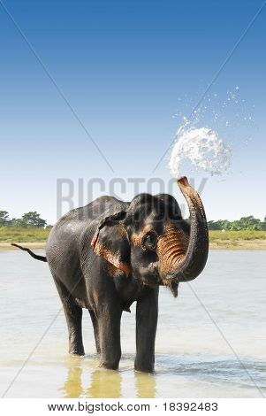 Cute Asian elephant blowing water out of his trunk in Chitwan N.P. Nepal
