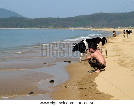 Photographer On The Beach With Cows