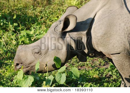 Head of black rhino in Chitwan N.P. Nepal