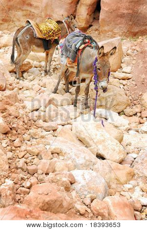Two donkeys waiting for a ride on rocky ground in world wonder Petra, Jordan
