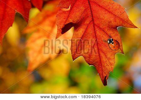 Rood ladybug op kleurrijke oak laat in de herfst