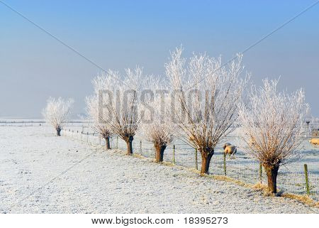 Dutch winter landscape with frozen pollard-willows and clear blue sky