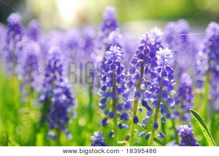 Blue grape hyacinth or 'muscari armeniacum' with shallow dof in dutch spring garden 'Keukenhof', Holland